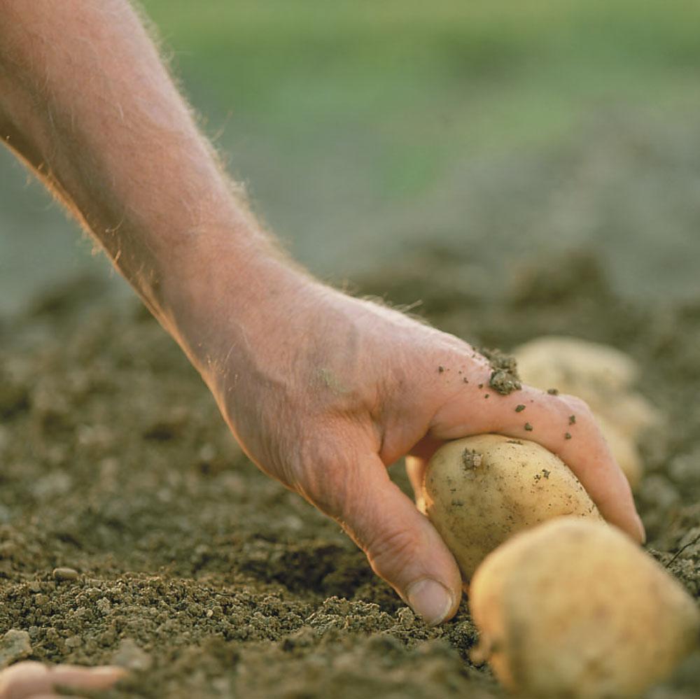 patata-zanarini-agromarketing